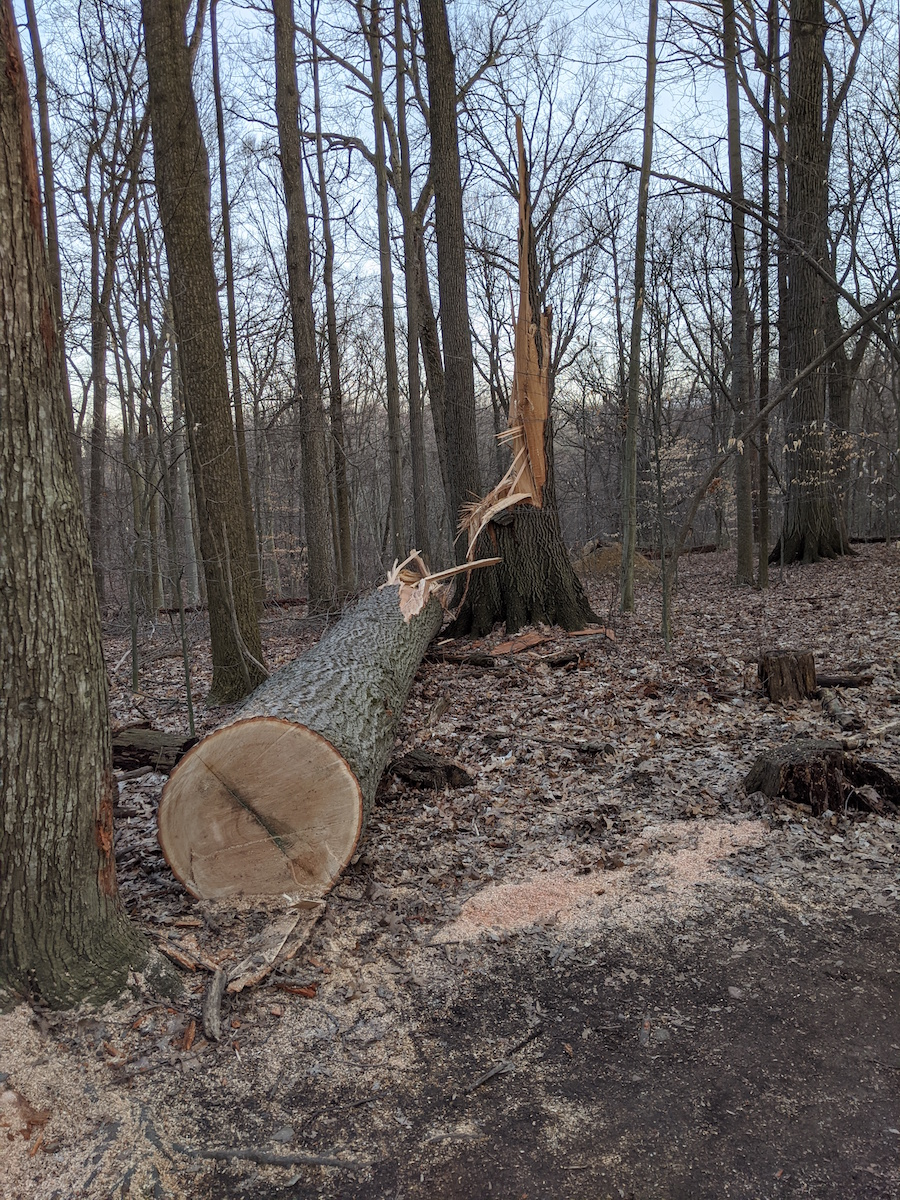 big cracked tree, fallen and cut